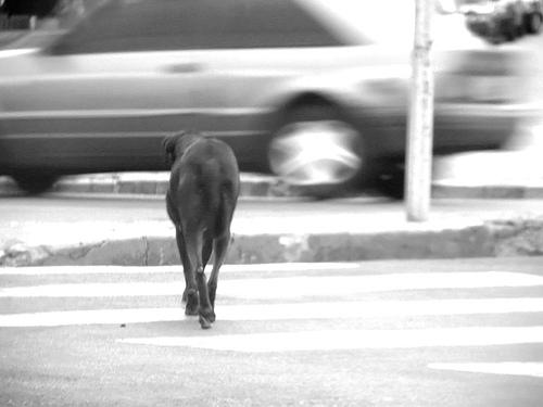 cachorro_de_rua|cao