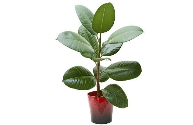 ficus_planta