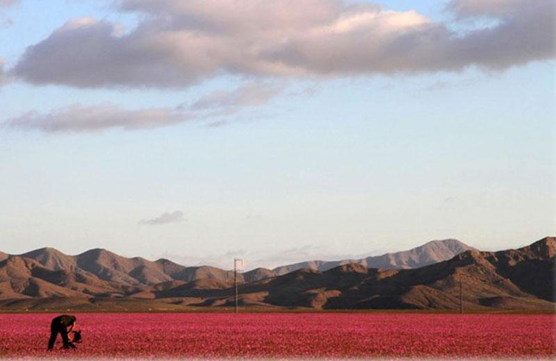 flores-deserto-close-2