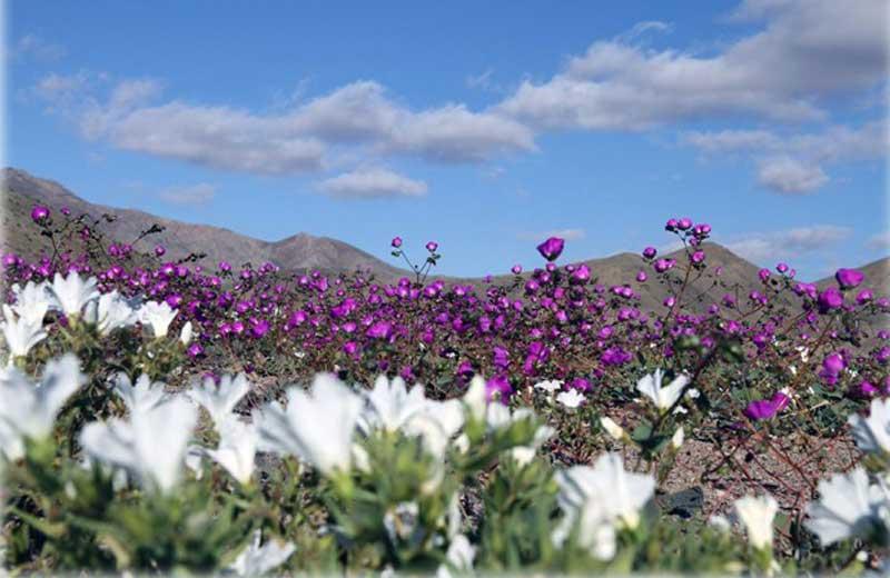 flores-deserto-close-4