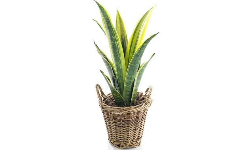 palma_planta