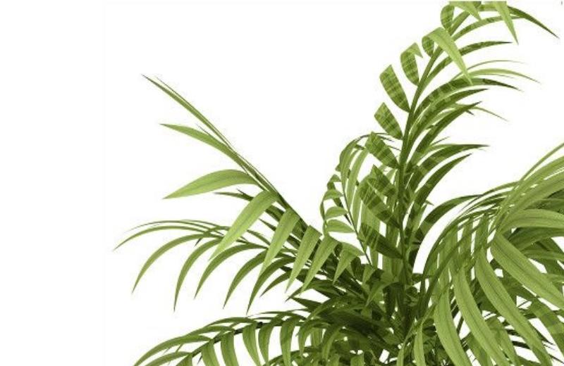 palmeira_planta