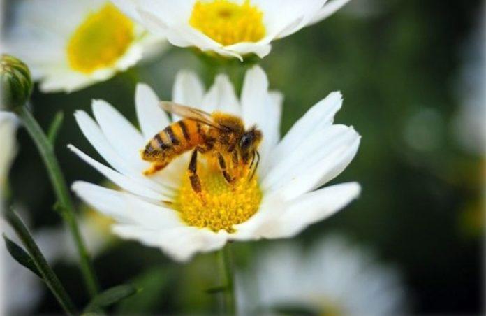Foto: domínio publico/abelha