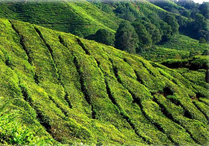 Plantação de chá verde - Foto: Pixabay
