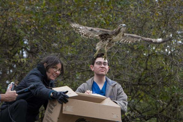 Falcão sendo solto - Foto: Gregg Vigliotti / New York Daily News