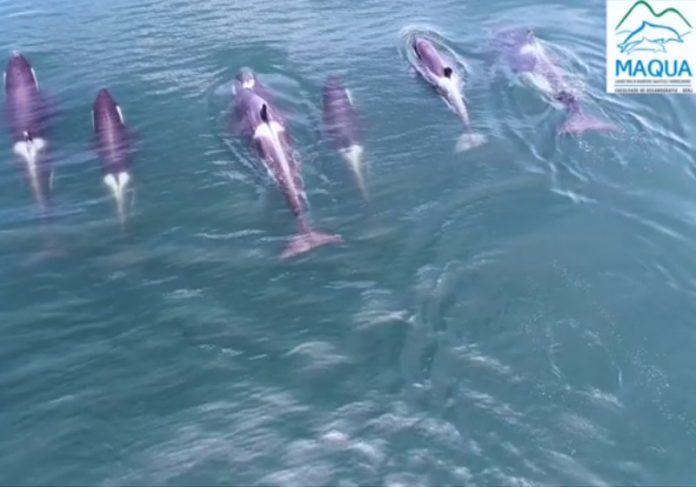 Orca na orla do RJ: Foto: reprodução Maqua-UERJ