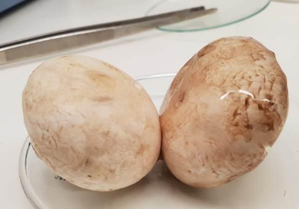Cogumelos com o spray safe Foto: Divulgação