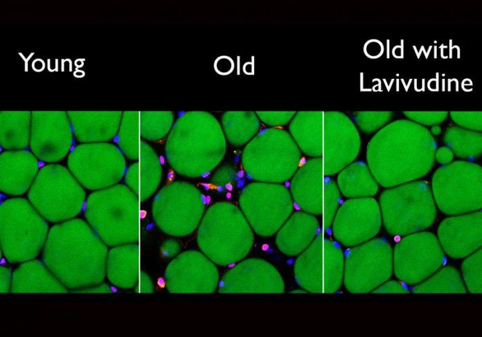 Células de ratos novas