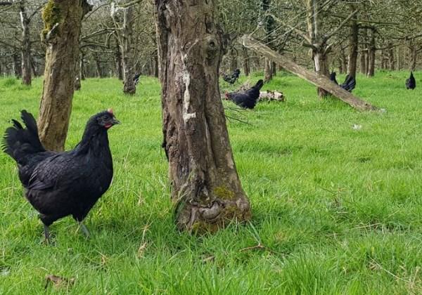 galinhas_agrotoxico