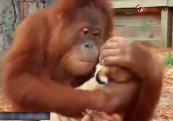 Orangotango adota filhotes de tigre -Foto: reprodução / Twitter