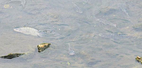 Peixes no Rio Jundiaí - Foto: reprodução / Jornal da Região