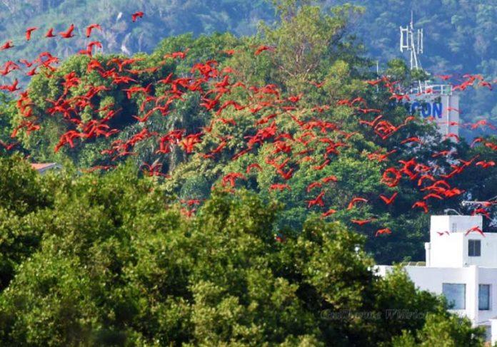 Flamingos vistos em Florianópolis - Foto: divulgação / Fernando Farias|||