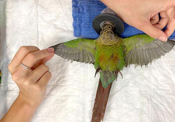 papagaio_asas1