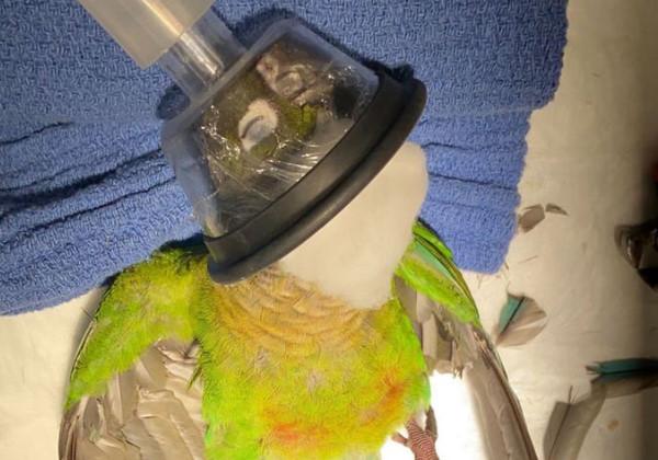 papagaio_asas2