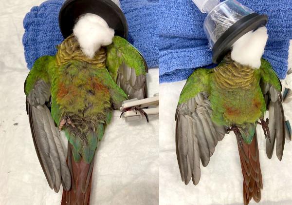 papagaio_asas3