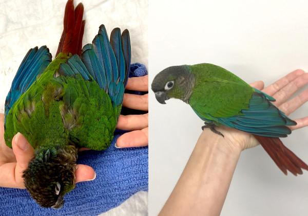papagaio_asas5