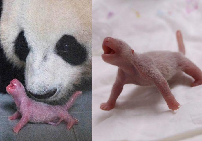 Mãe e filhote de panda gigante - Foto: Reuters/ Everland