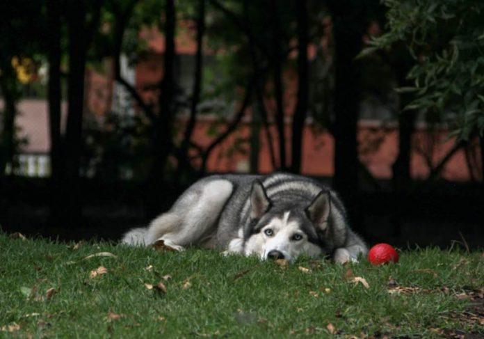 Cão Husky Siberiano - Foto: Unsplash