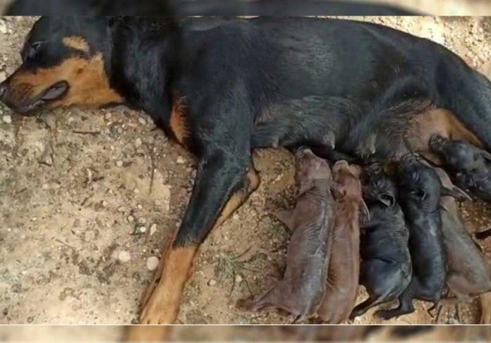 Pantera amamenta porquinhos - Foto: Angelina Carvalho/Arquivo pessoal