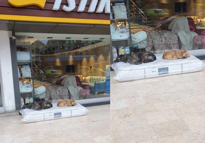 Cães dormindo no colchão da loja - Foto: Cem Baykal / Twitter