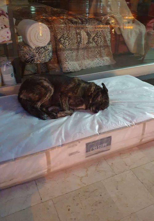 Cão dormindo no colchão da loja - Foto: Cem Baykal / Twitter.