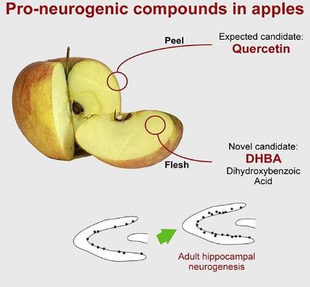 Dois compostos - quercetina na casca da maçã e ácido diidroxibezóico (DHBA) na polpa da maçã - geraram neurônios no cérebro de camundongos em testes de laboratório