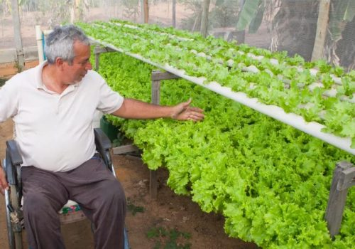 Paulo produz 4 mil alfaces - Foto: arquivo pessoal