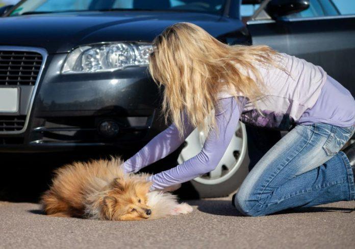 Nova lei em SP obriga motoristas a prestarem socorro a animais atropelados - Foto: reprodução