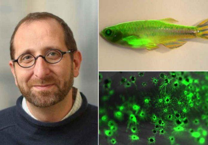 Um peixe-zebra com câncer marcado com proteína fluorescente verde é a peça-chave do estudo do Dr. R. White - Foto: mskcc.org