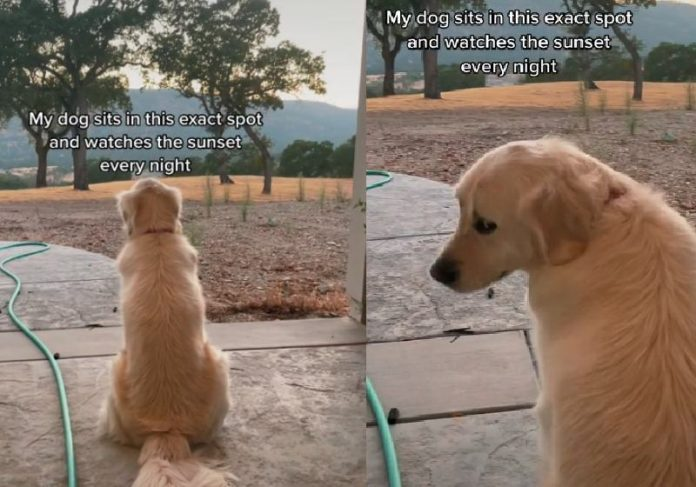 O cachorro que ama ver o por do sol ficou famoso nas redes - Foto: reprodução / TikTok