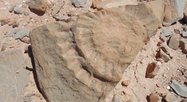 Restos fósseis do pterossauro - Foto: Universidad de Chile / AFP