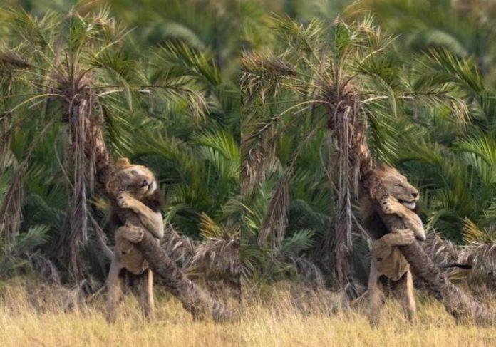 O leão abraçou a árvore, em uma cena inusitada - Foto: Julius Dadalti