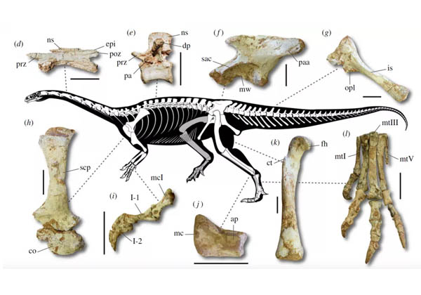 Macrocollum itaquii ou dinossauro brasileiro Foto: Divulgação