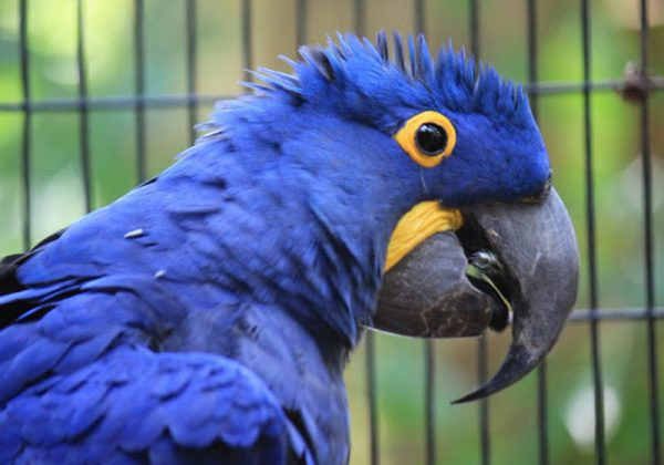 Arara azul - Foto: ilusionviajera