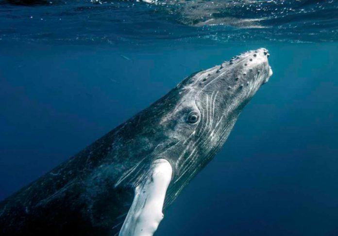 Baleia jubarte - Foto: Christopher Michel