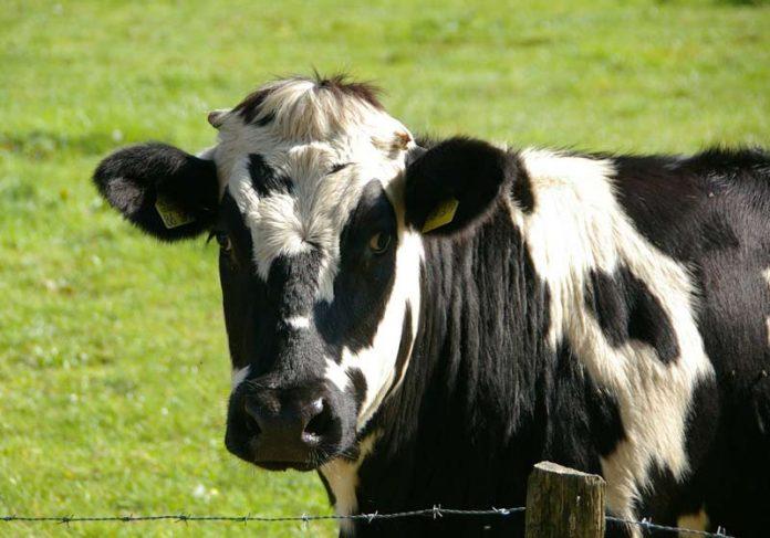 Vaca leiteira - Foto: Pixabay /wernerdetjen
