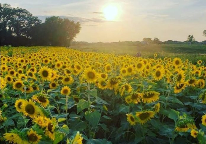 Foto: Thompsonstrawberryfarm