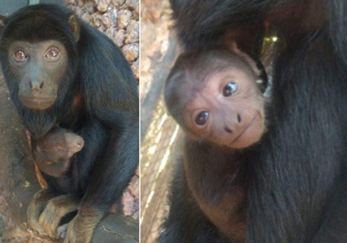 Tupã e a mãe - Fotos: Divulgação/ Zoo de Brasília