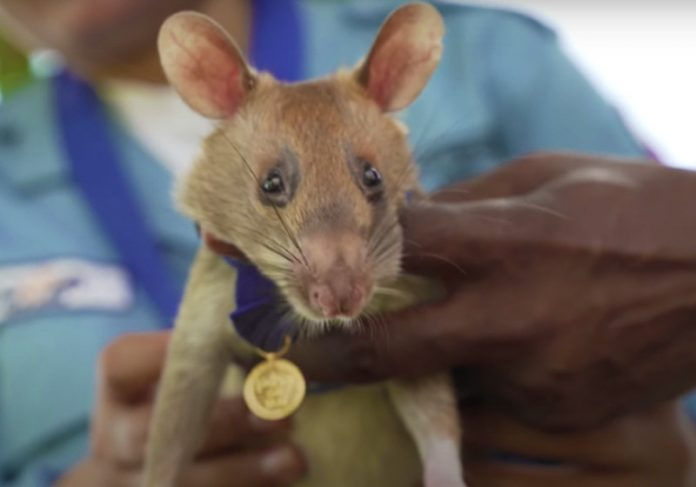 Rato herói - Foto: reprodução / Youtube