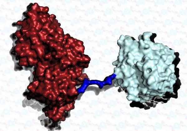 As enzimas foram costuradas