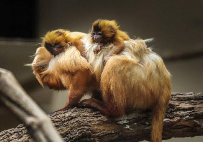Filhotes de mico-leão dourado com a mãe - Foto: Divulgação/ Zooparque