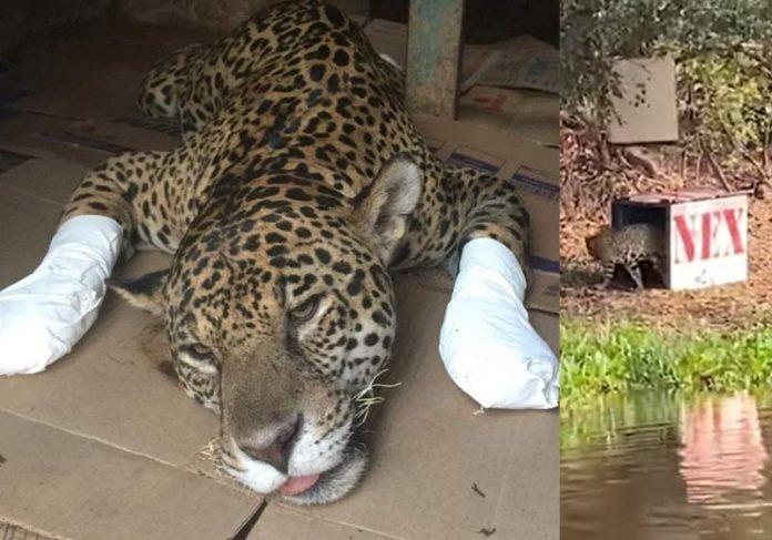 A onça antes e na libertação - Fotos: reprodução / TV Anhanguera /Estadão