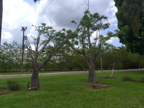 Baobás em frente à Embrapa, na Asa Norte - Foto: arquivo pessoal