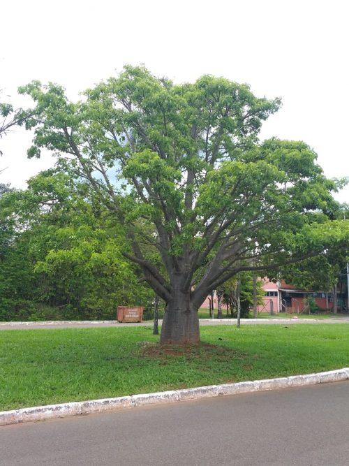 Baobá em frente à Embrapa, na Asa Norte - Foto: arquivo pessoal