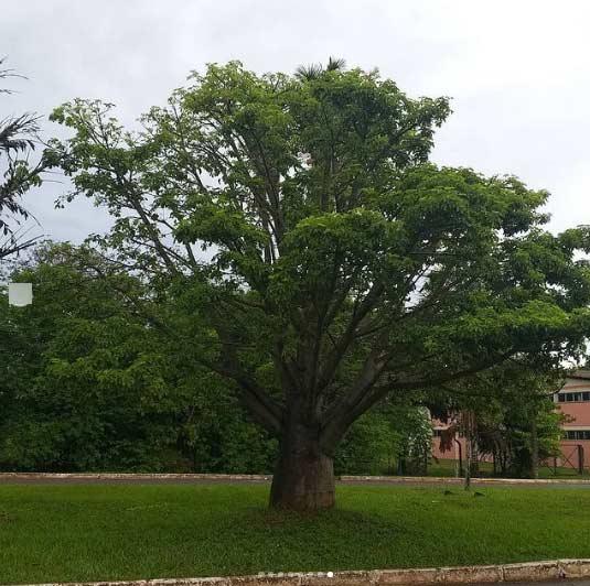 Árvore de baobá na Asa Norte em Brasília - Foto: André Lúcio Bento