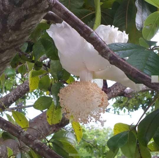 Flor de baobá desabrochou no DF - Foto: André Lúcio Bento
