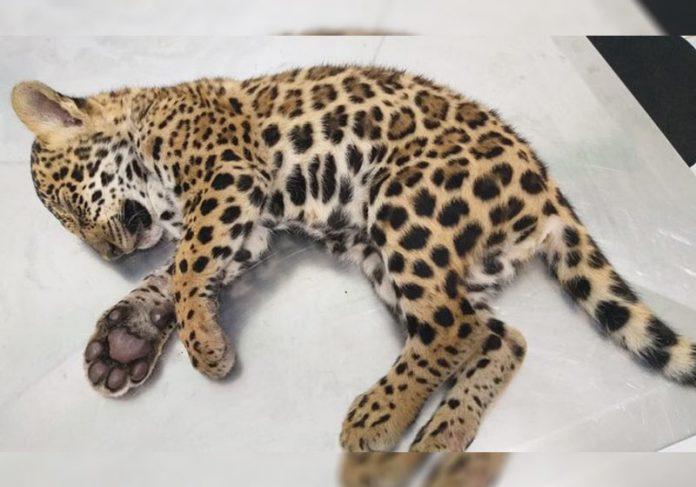Filhote de onça resgatado - Foto: reprodução / MT+