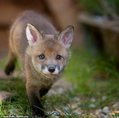 Um dos filhotes de raposa - Foto: SWNS