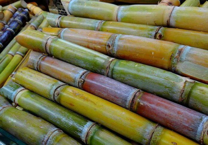 Cana-de-açúcar - Foto: Corinna Schenk / Pixabay