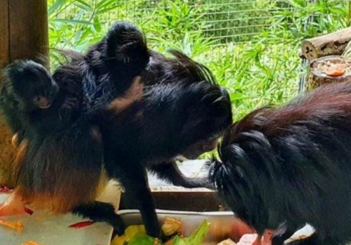Os gêmeos de mico-leão-preto com os pais - Foto: PBH / divulgação